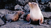 Fur Seals at the Fur Seal Grotto, James Bay, Galapagos