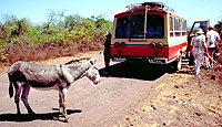 Burro on the old dirt road, Santa Cruz Island, Galapagos