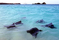 Spotted Eagle Rays, Hood Island, Galapagos