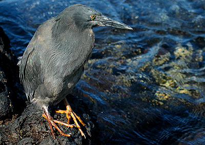 Lava Heron, James Bay, Galapagos