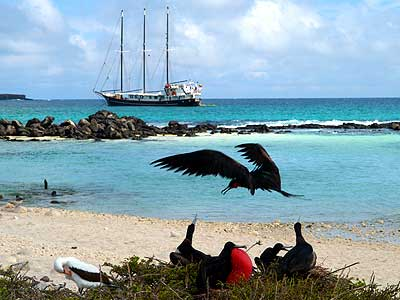 Great Frigate Birds, Tower Island, Galapagos