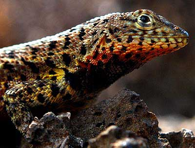 Lava Lizard at the Darwin Station, Santa Cruz Island, Galapagos